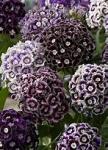 thYPBDTB3J oeillet de  poete violet.jpg